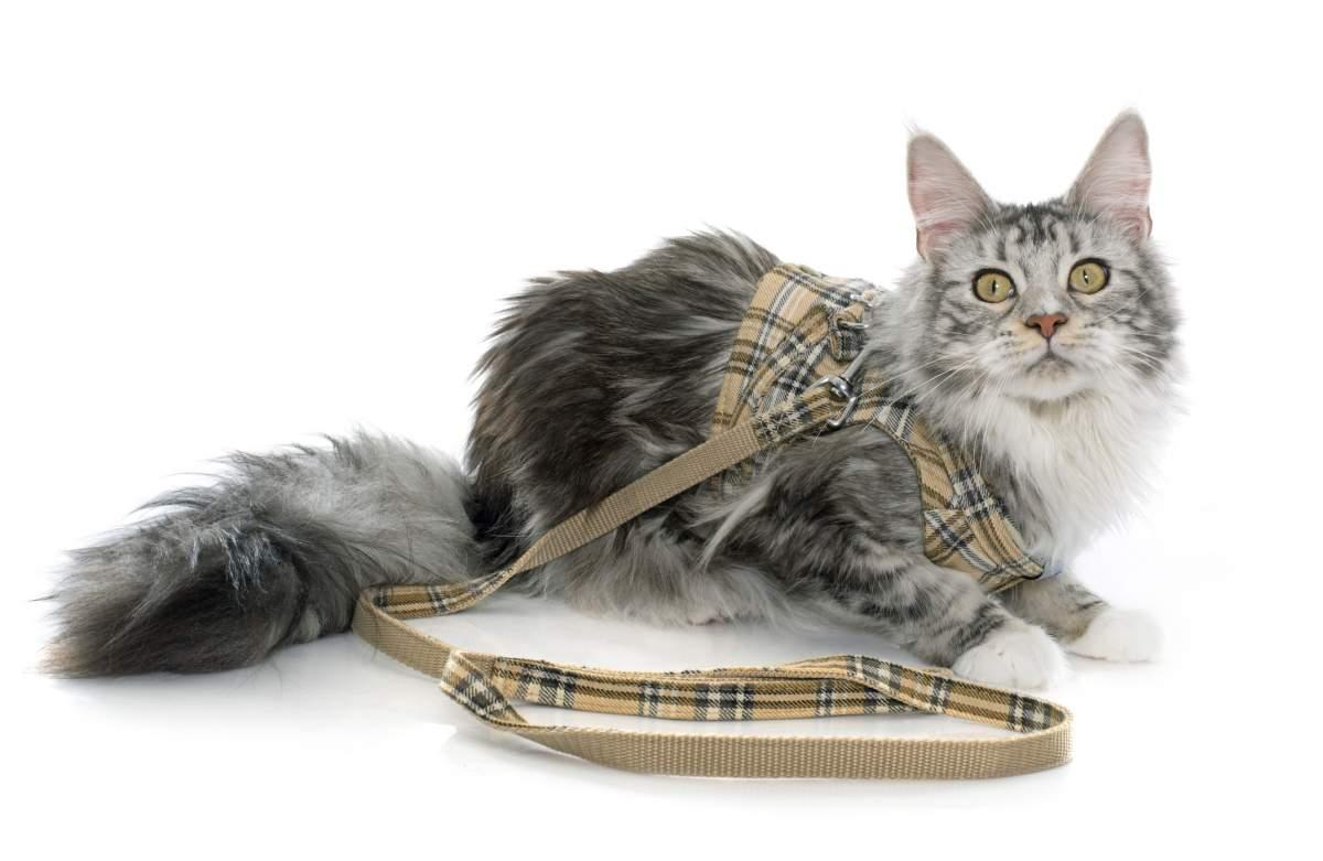 Meilleur harnais pour chat en 2020 : Guide d'achat